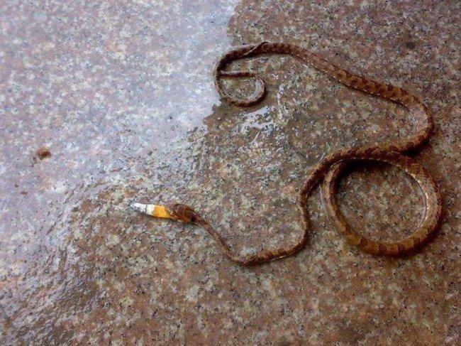 Курящая змея (2 фото)
