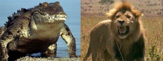 Битва аллигатора с... Ужасное зрелище (5 фото)