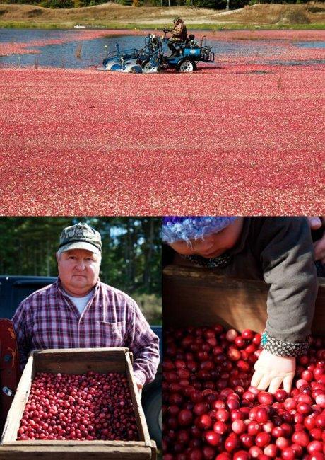 Сбор урожая клюквы в Новой Англии (15 фото)