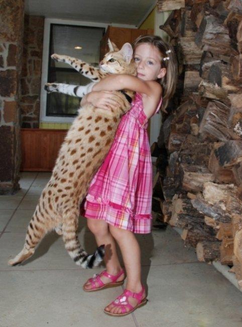 Cамый высокий кот в мире (12 фото)