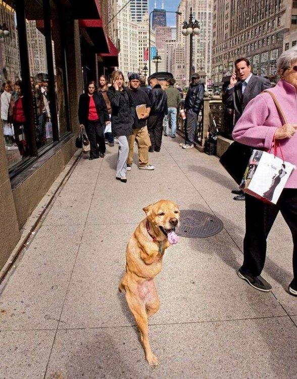 Собака ходит как человек (21 фото)